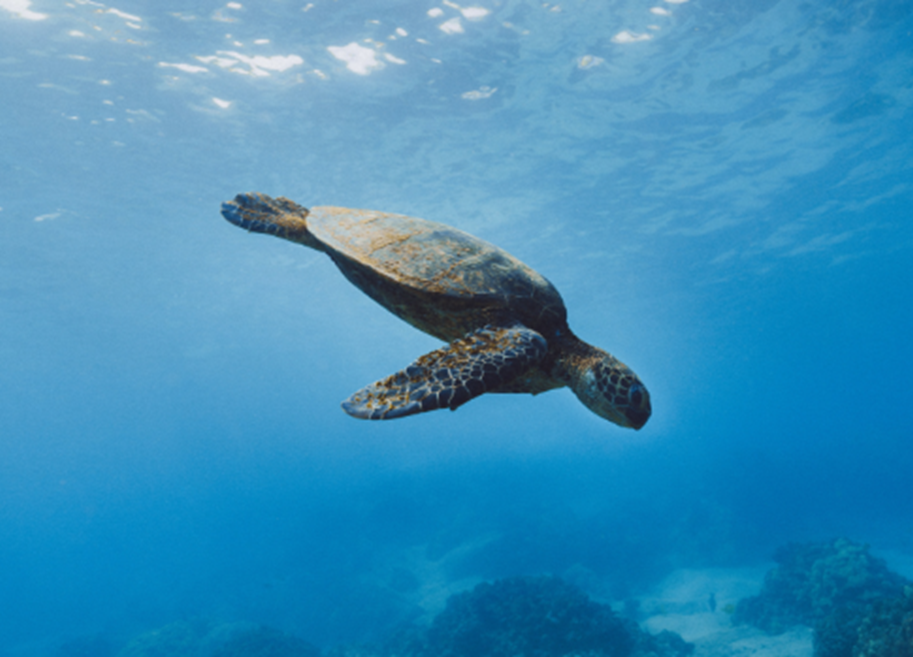Sea turtle swimming downwards