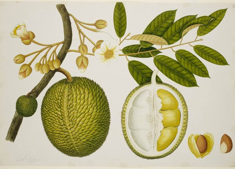 Durian fruit drawn by Chinese artists, commissioned by colonial administrators